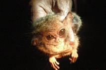 Mouse-Sized Pygmy tarsiers